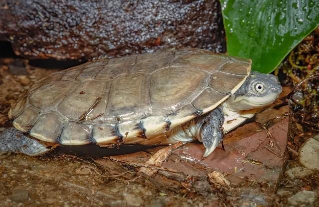 Rùa Sideneck Châu Phi