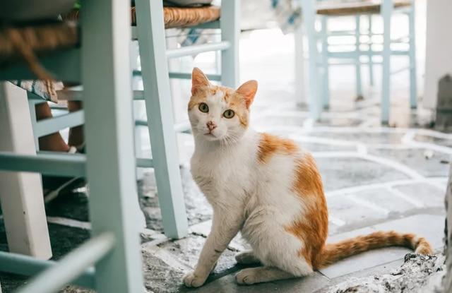 Loạn Sản Xương Hông Ở Mèo