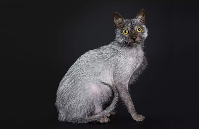 lykoi giong meo my