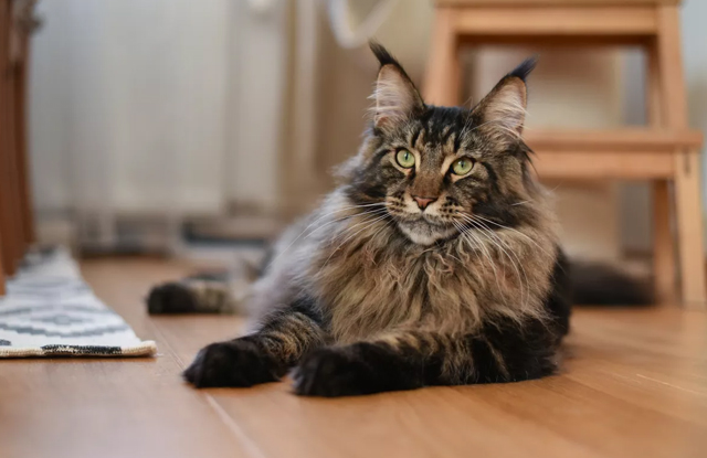 maine coon giong meo lon
