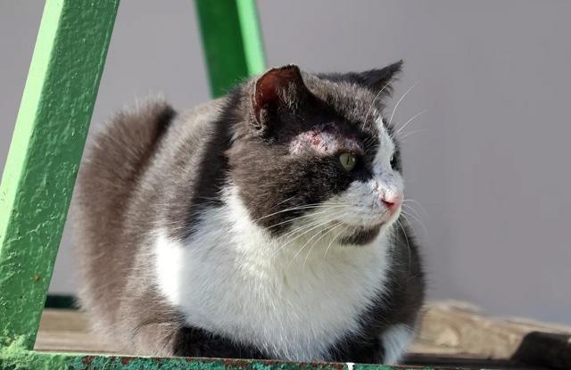 Mange Ở Mèo