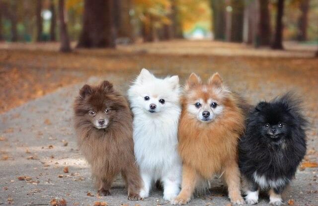 Màu Chó Phốc Sóc