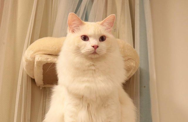 mau long meo ragdoll Cream
