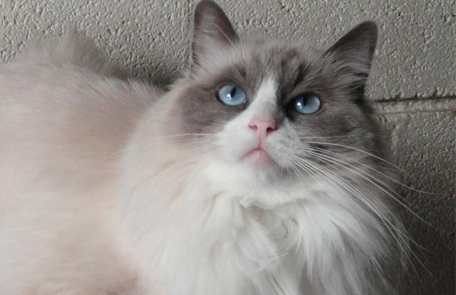 mau long meo ragdoll blue