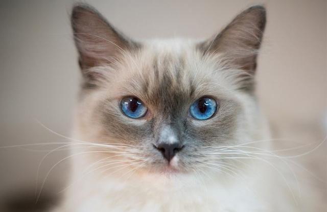 Màu Lông Mèo Ragdoll