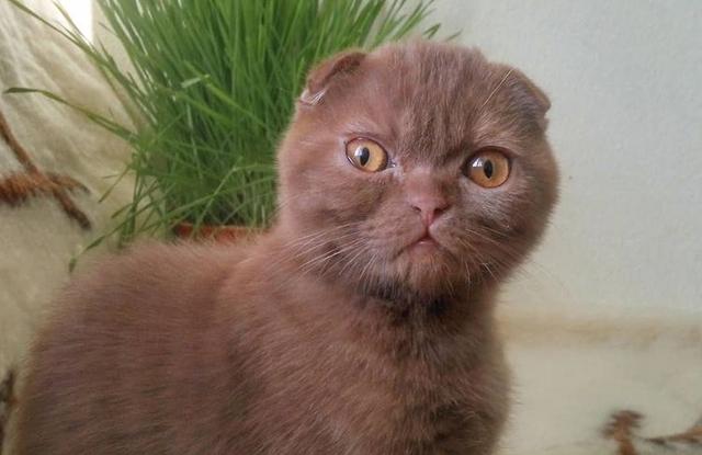 lông Mèo tai cụp