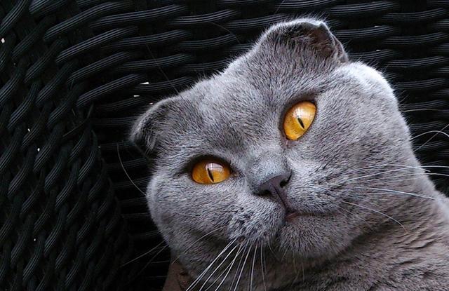 Màu Sắc Mèo Tai Cụp