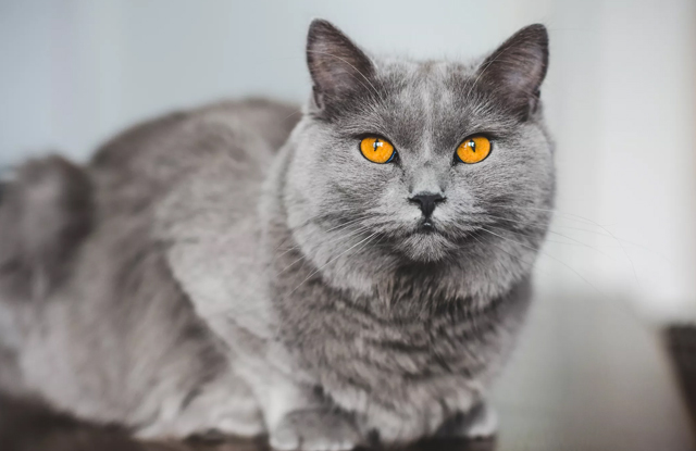 meo Chartreux giong meo long