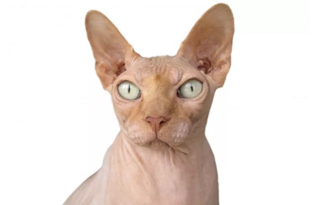 Mèo Donskoy