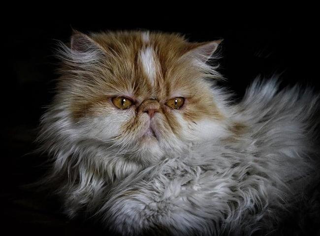 meo Persian