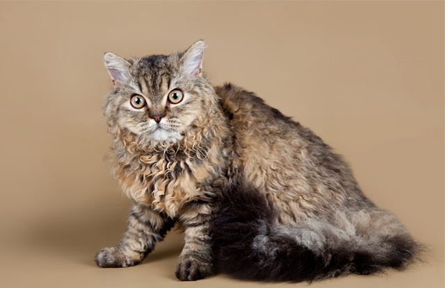 meo Selkirk Rex giong meo quy hiem