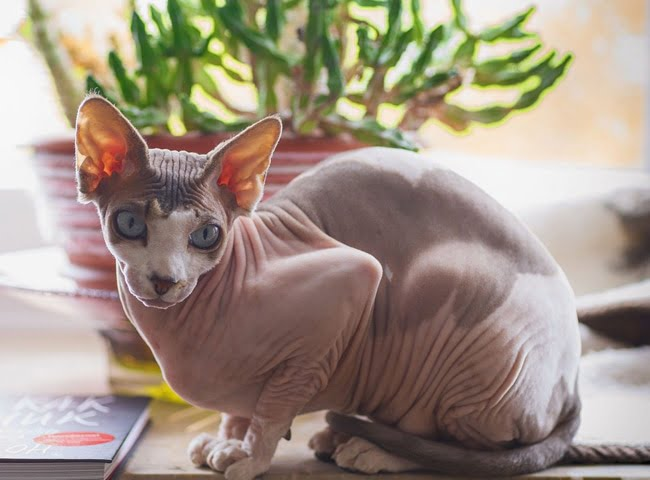 meo Sphynx giong meo song lau nhat