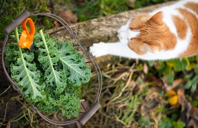 Mèo ăn cải xoăn