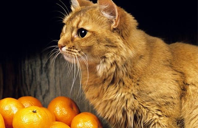 Mèo Ăn Cam