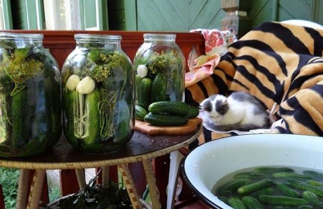 Mèo Ăn Dưa Chua