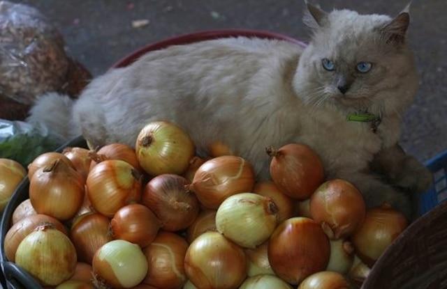 Mèo Ăn Hành Tây