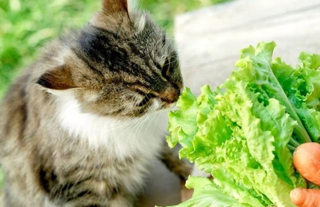 Mèo Ăn Rau Diếp