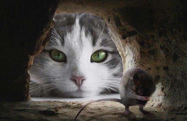 Mèo Ba Tư Bắt Chuột