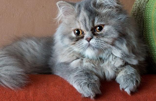 Mèo Ba Tư Lười
