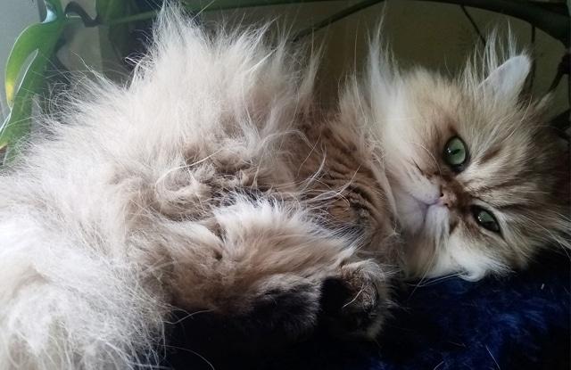 Mèo Ba Tư Nhút Nhát