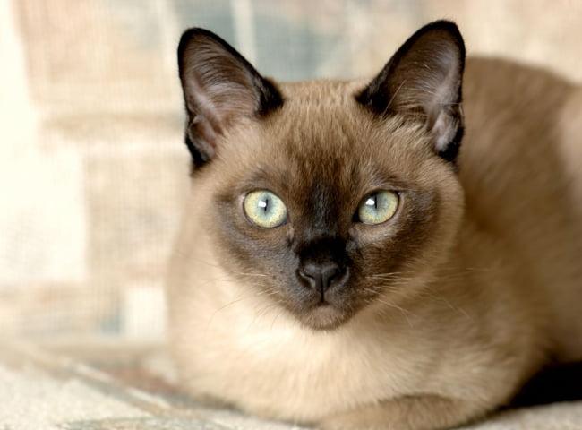 Mèo Bắc Kỳ Tonki