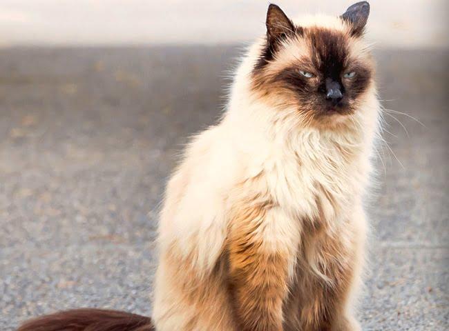 Mèo Bali