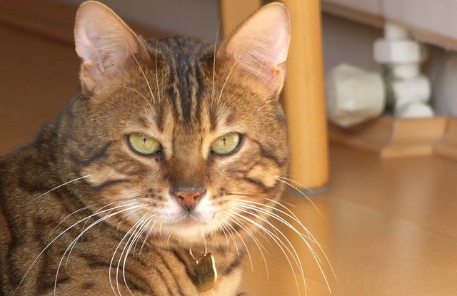 Mèo Bengal Chảy Nước Rãi