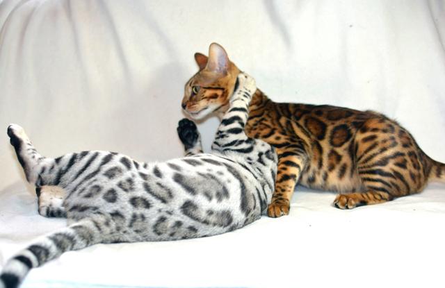Mèo Bengal Con Cắn