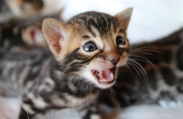 Mèo Bengal Con Kêu Nhiều