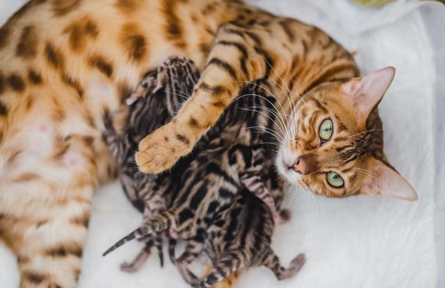 Mèo Bengal Nguy Hiểm Không?