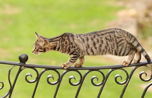 Mèo Bengal Ở Ngoài