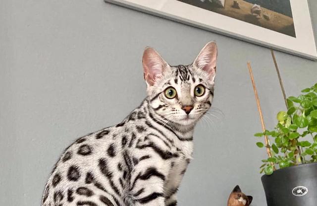 Mèo Bengal Rít