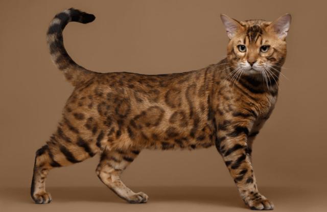 Mèo Bengal Vẫy Đuôi Thể Hiện Điều Gì