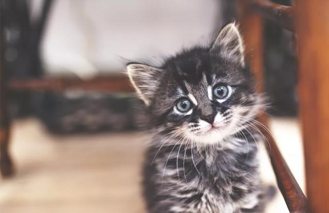 Mèo Con 6 Tuần Tuổi