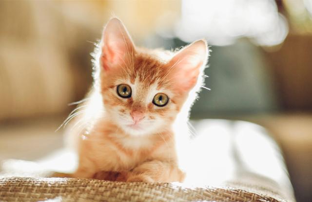 Mèo Con Bị Táo Bón