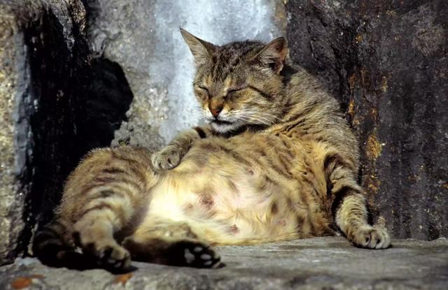 Mèo Đang Mang Thai