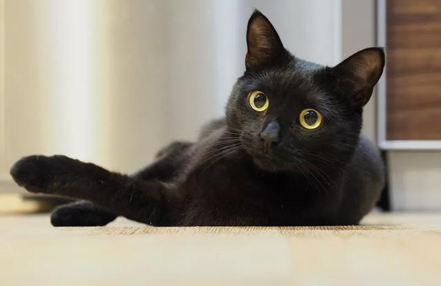 Mèo Đen