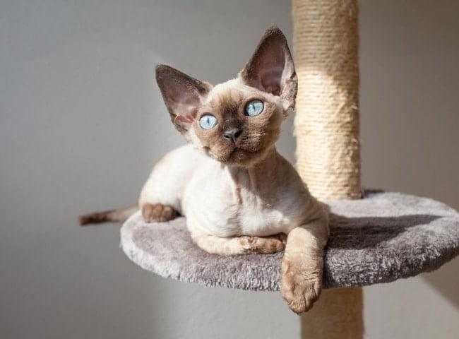 Mèo Devon Rex