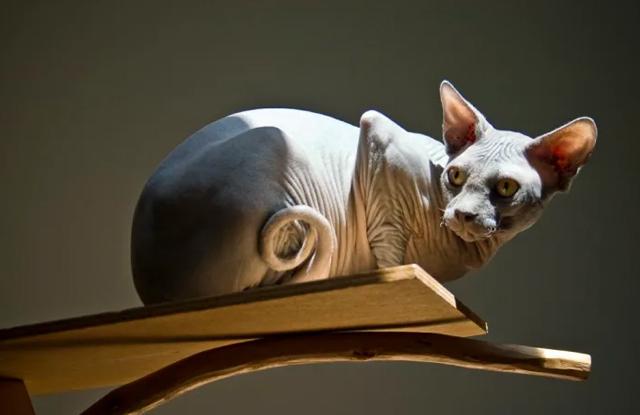 Mèo Không Lông Sphynx