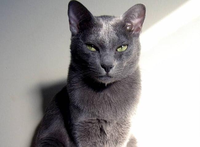 Mèo Korat