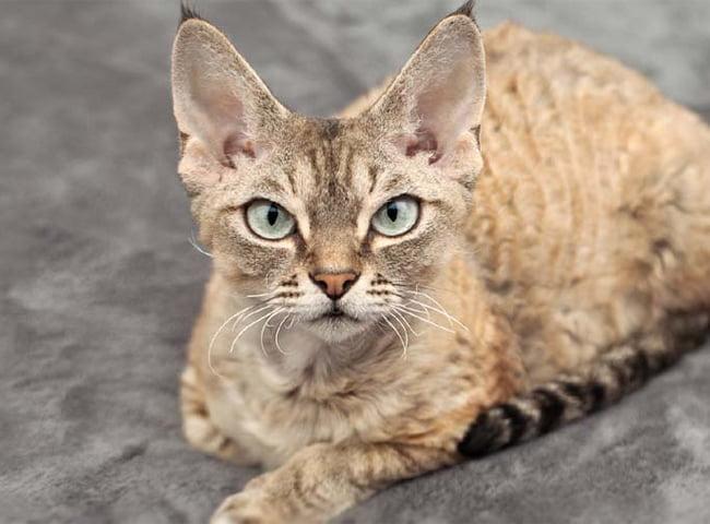 Giống Mèo Lông Ngắn Devon Rex