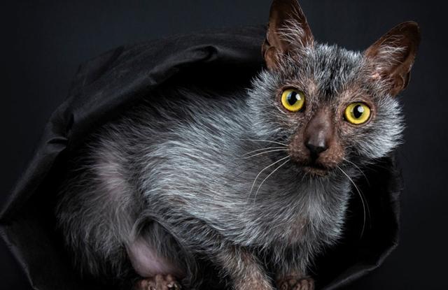 Mèo Lykoi