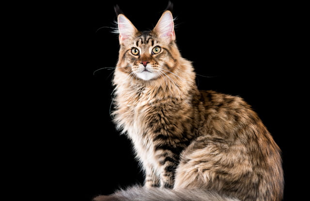 meo maine coon 1