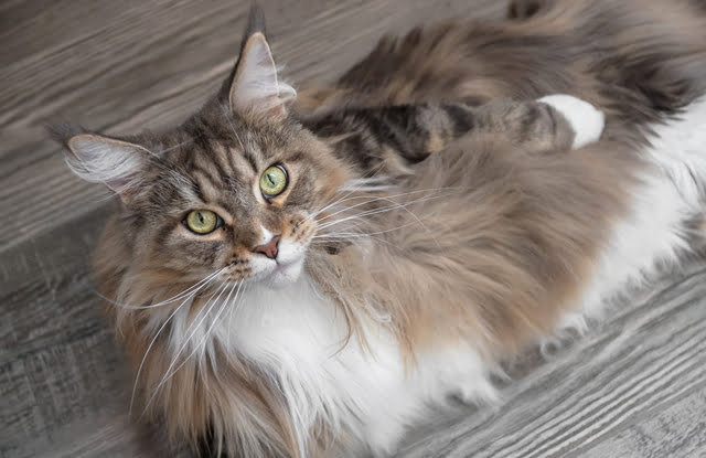 meo maine coon 3