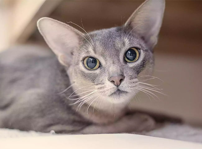meo mat to meo Abyssinian
