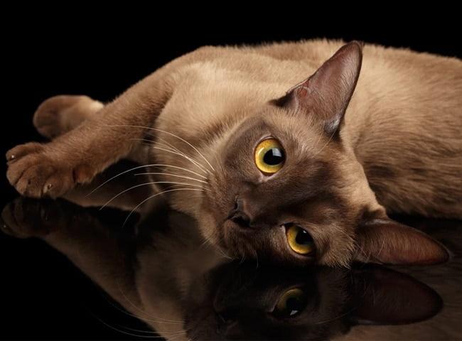 Lịch sử Mèo Miến Điện