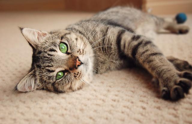 Mèo Moggie