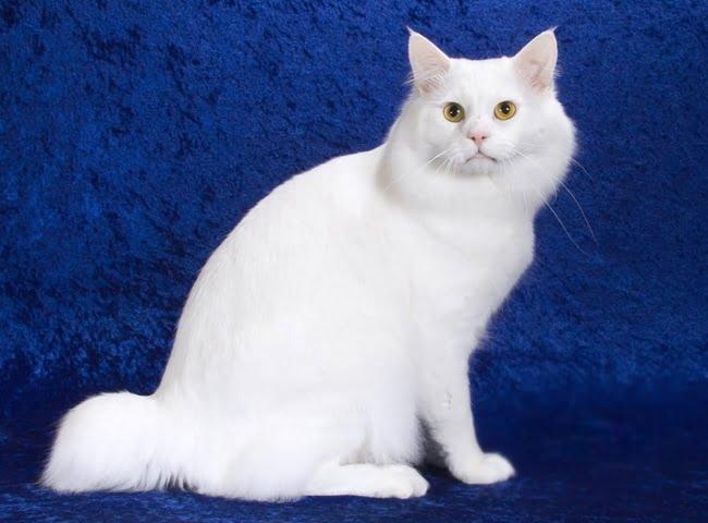 Mèo Mỹ Đuôi Cộc