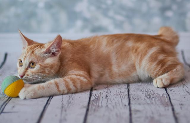 Mèo Mỹ Đuôi Cộc Các giống mèo quý