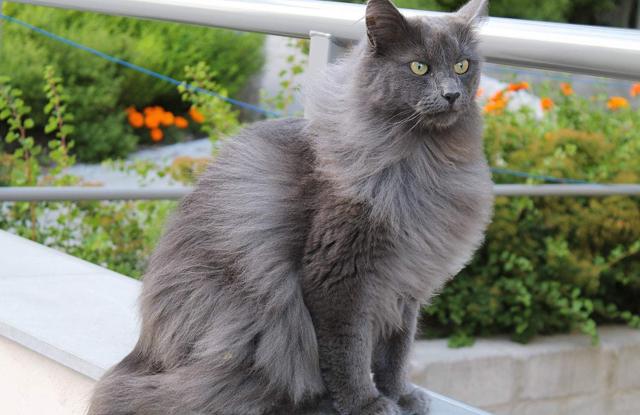 Mèo Nebelung
